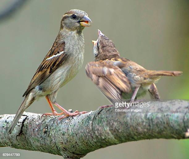 House Sparrow Mother and Juvenile Indicating Hunger