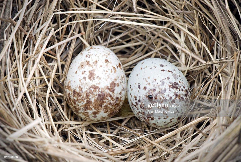 House Sparrow Eggs 6