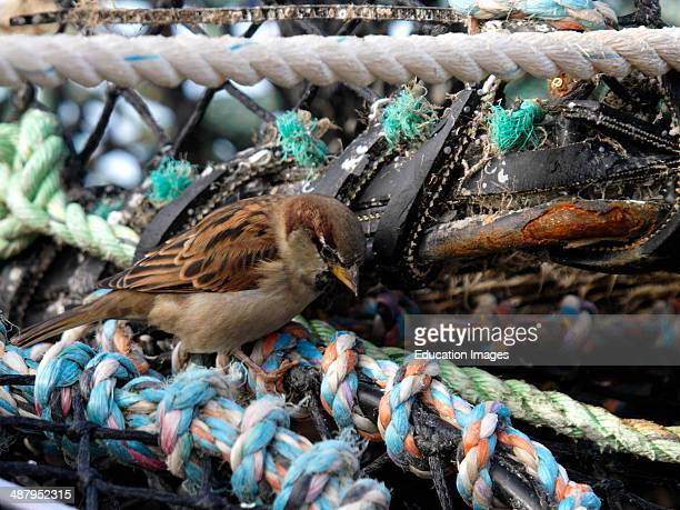 House sparrow Passer domesticus looking for food inside lobster pots St Ives harbor Cornwall UK