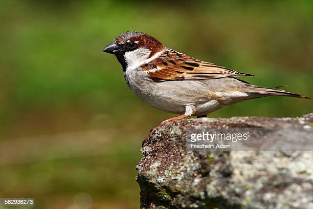 house sparrow -passer domesticus-, perched on a rock - animais machos - fotografias e filmes do acervo