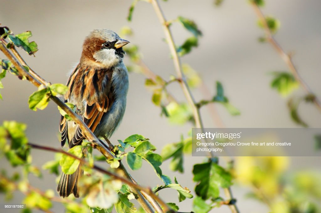 House Sparrow - Passer domesticus : Stock Photo