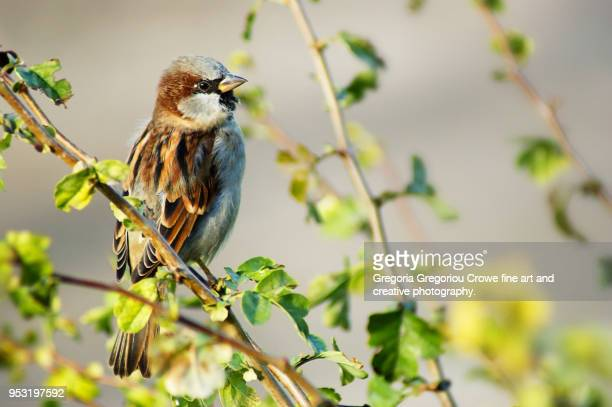 house sparrow - passer domesticus - gregoria gregoriou crowe fine art and creative photography. stock pictures, royalty-free photos & images
