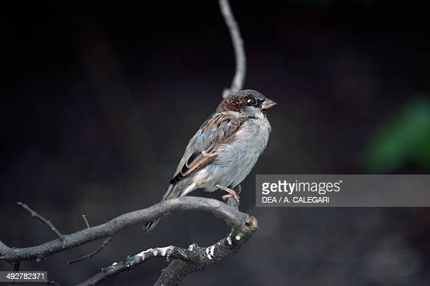 House sparrow Passeridae Patagonia Argentina
