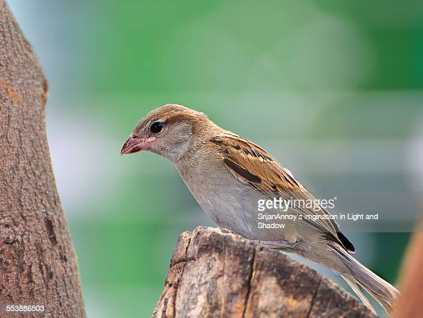 House Sparrow (female) perched on tree