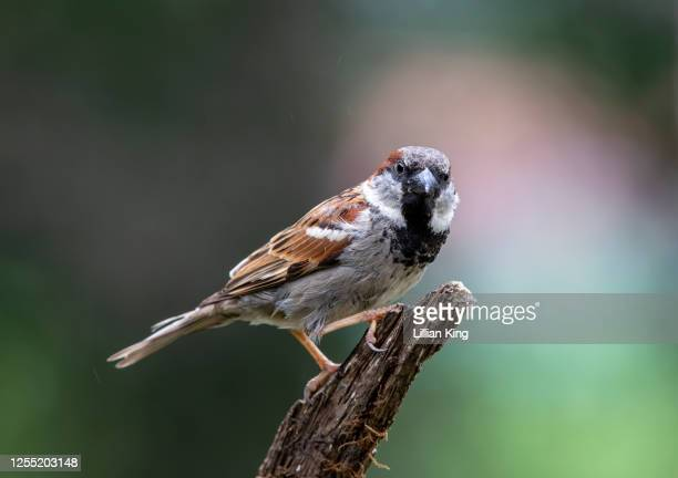 house sparrow - perching stock pictures, royalty-free photos & images
