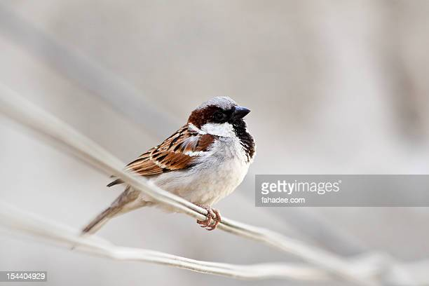 house sparrow - sind stock pictures, royalty-free photos & images