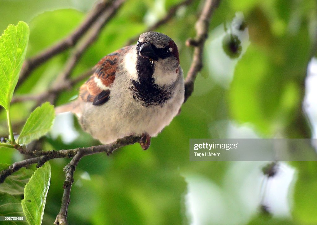 House Sparrow : Stock Photo