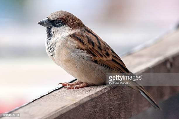 House sparrow sitting