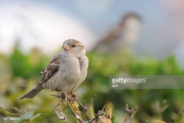 House sparrows perch on a bush in Ahmedabad on January 27 2012 House sparrows can be found across its native Europe and Asia and can be also found as...