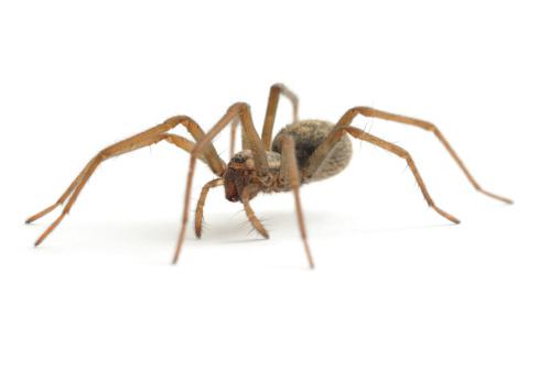 House Spider walking 183810299