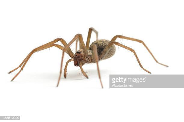 House Spider walking