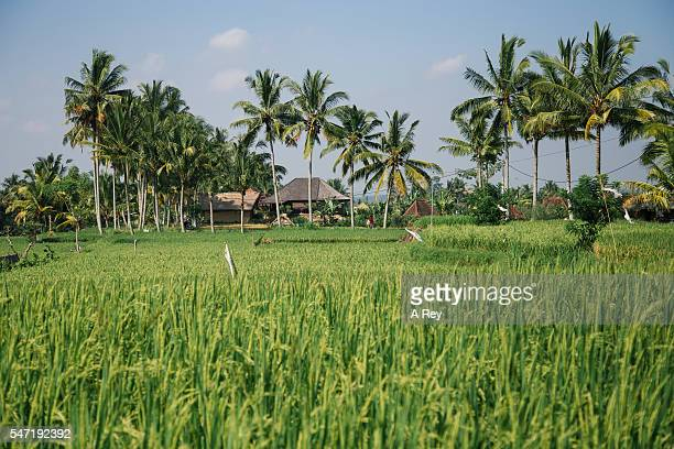 House surrounded by rice fields