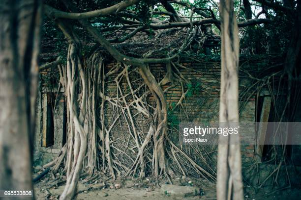 house taken over by strangler fig trees - banyan tree stock photos and pictures