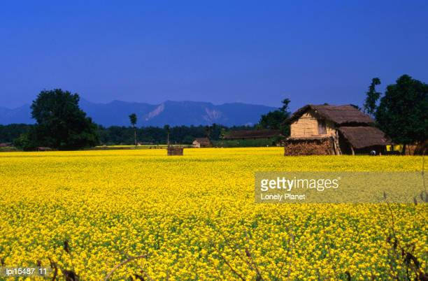 House with thatched roof in mustard field, Terai, Nepal