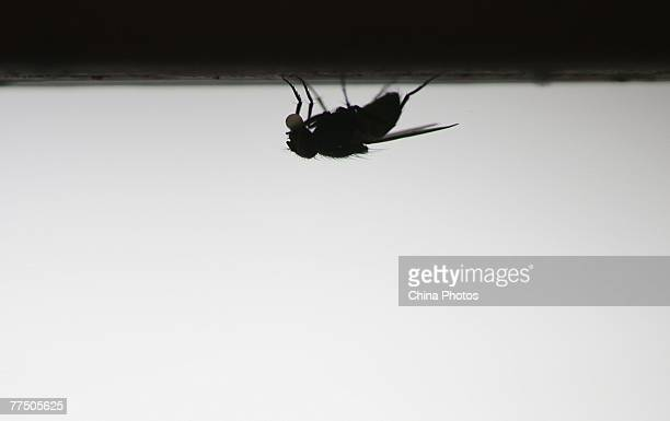 A housefly is seen at a housefly farm on October 25 2007 in Gaochun County of Jiangsu Province China The housefly may also be a source of elements...