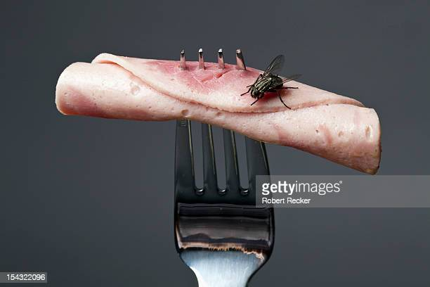 Housefly on bacon