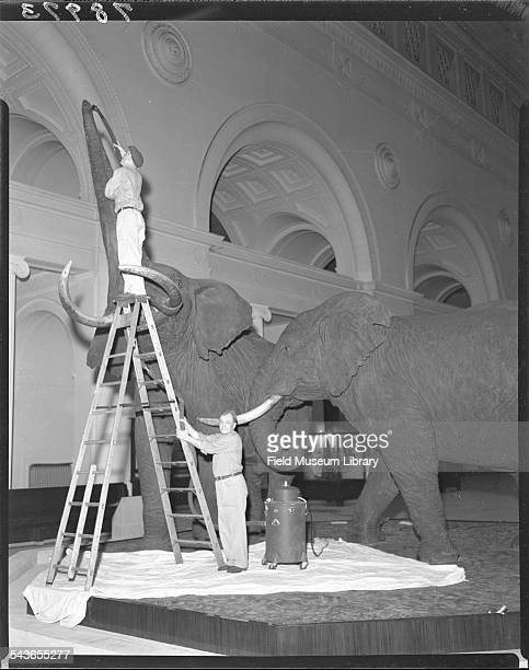 Housekeeping staff use vacuums to clean the elephants in Stanley Field Hall at the Field Museum Chicago Illinois May 26 1952