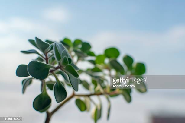Houseplant Crassula ovata - jade plant, money tree in white pot.