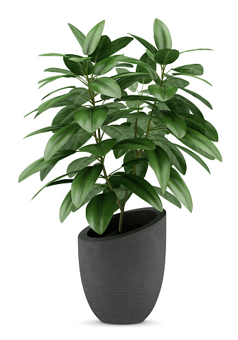 houseplant in black pot isolated on white background 519687055