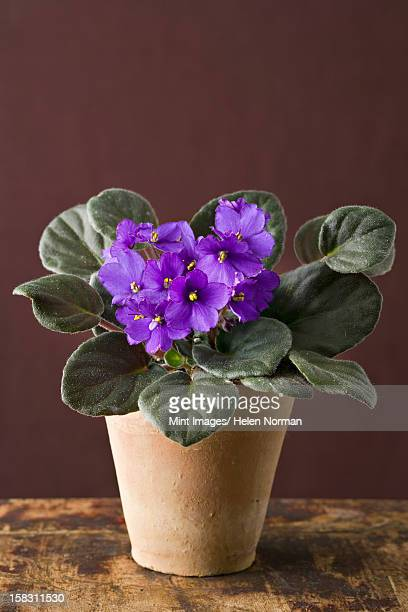 A houseplant with furry green leaves, purple Saintpaulia, growing in a pot.
