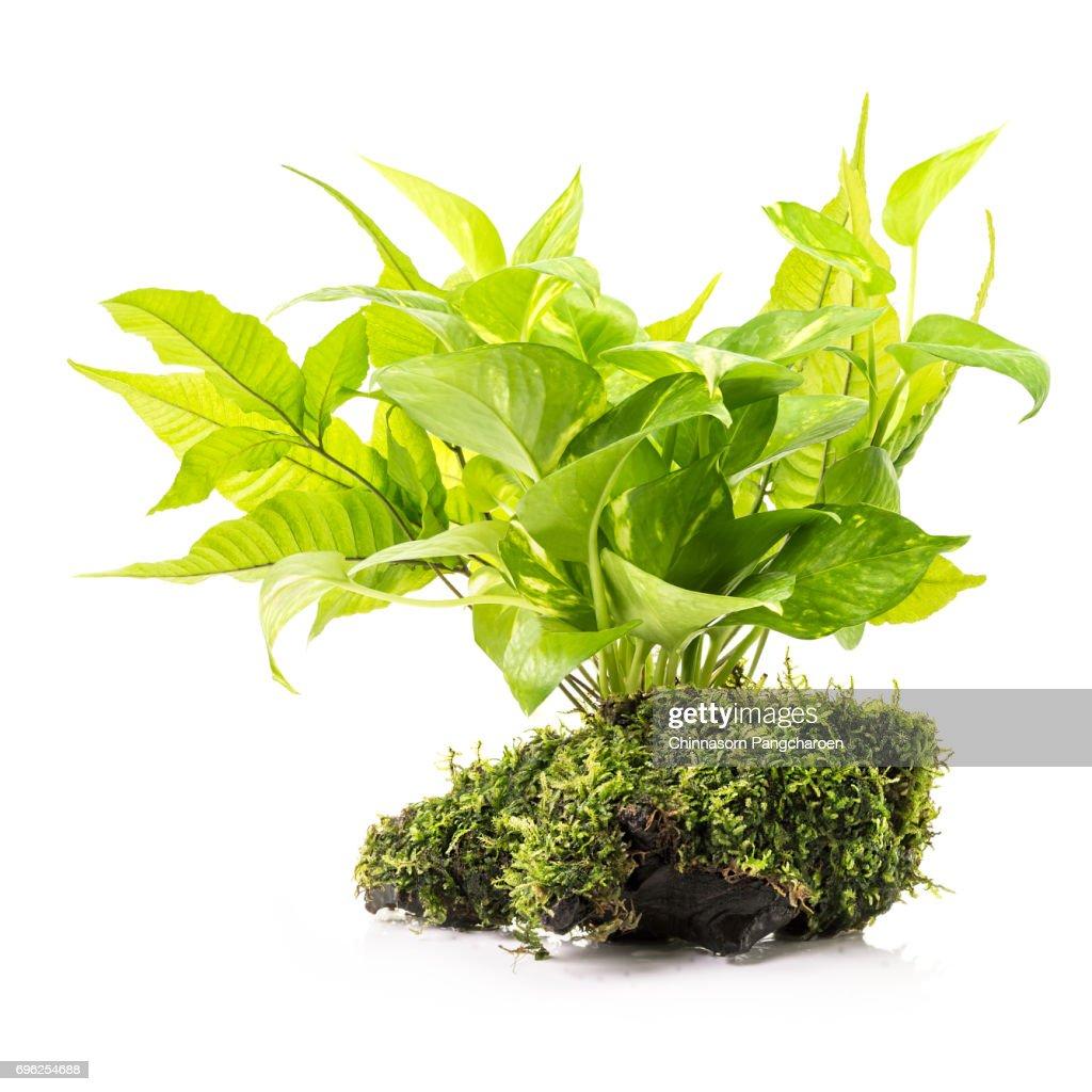 Zimmerpflanze Mit Moos Stock Foto