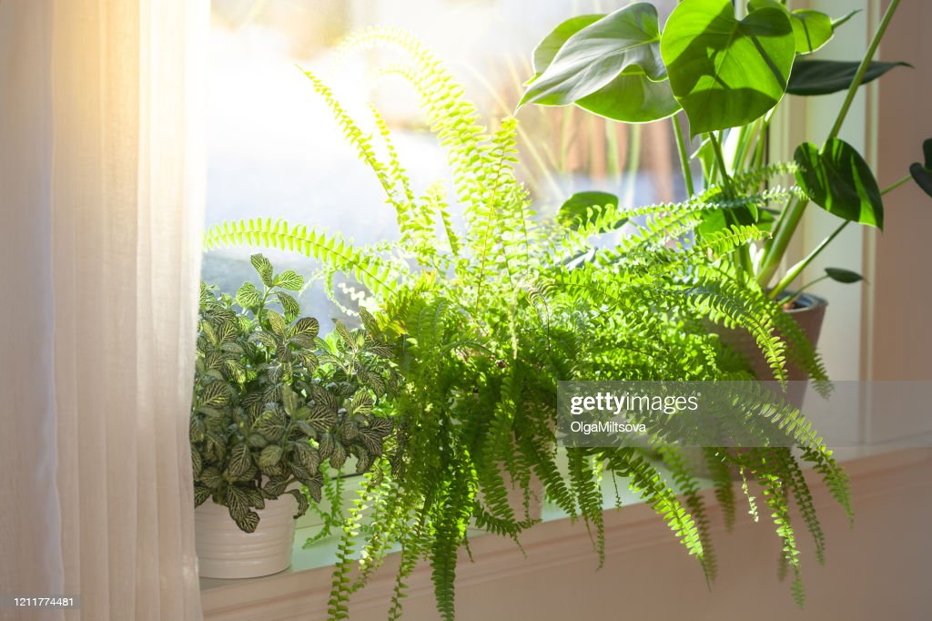 houseplants fittonia, nephrolepis and monstera in white flowerpots on window : Stock Photo