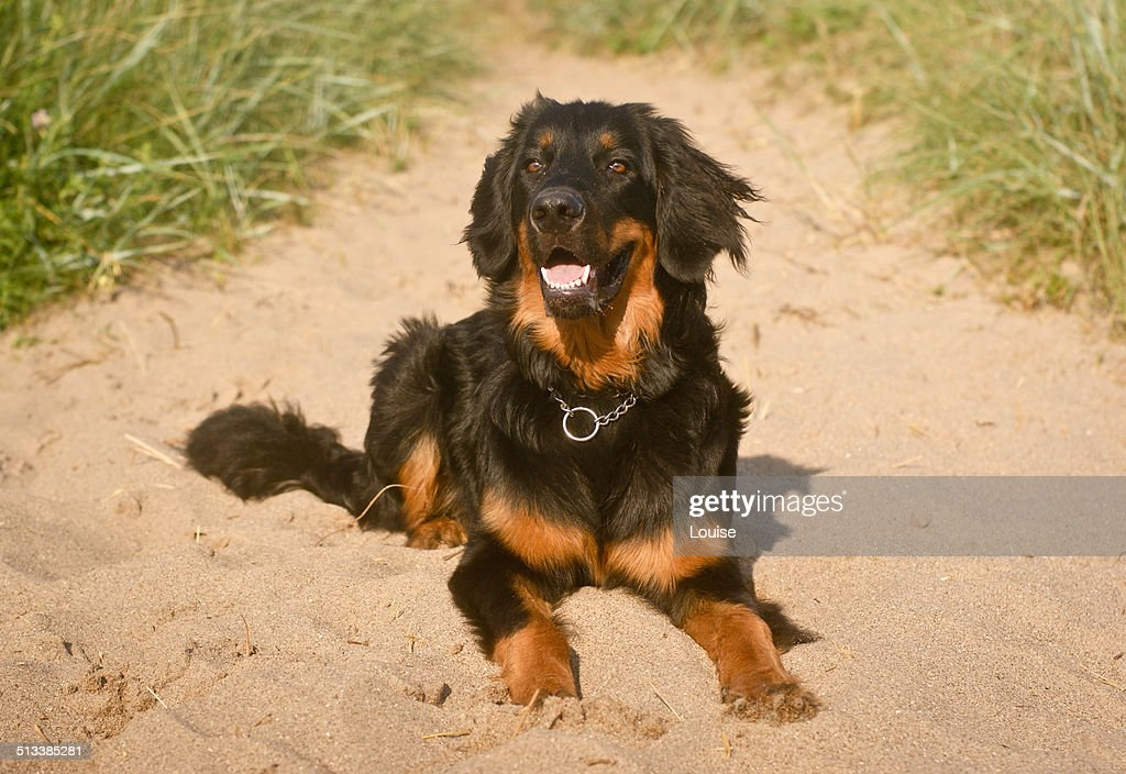 Hovawart at the beach : Stock Photo