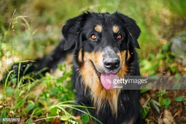 Hungarian dog background getty images hovawart dog voltagebd Choice Image