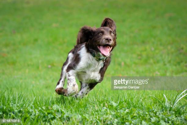 hover dog - springer spaniel stock photos and pictures