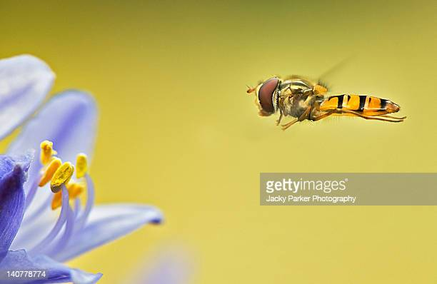 Hover fly in flight to collect pollen