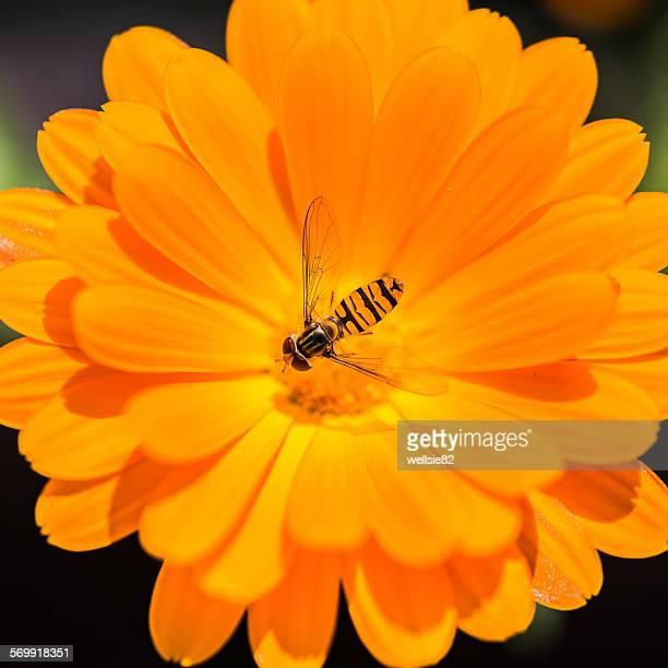 Hover fly on an orange flower