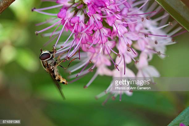Hover fly on hebe flower