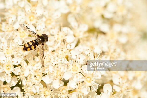 Hover fly on white blossoms