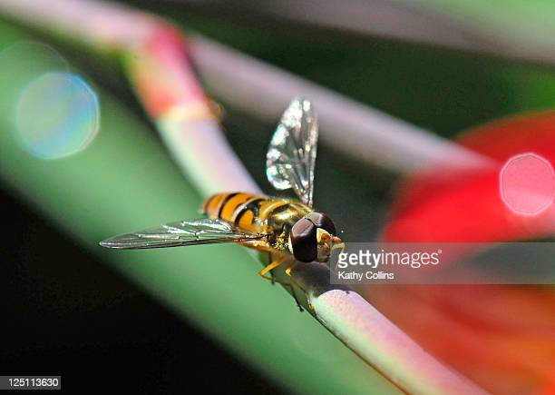 Hover fly, Syrphidae,sitting on flower stem
