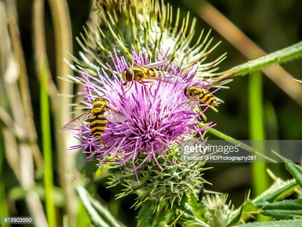 Hoverflies on the Thistle