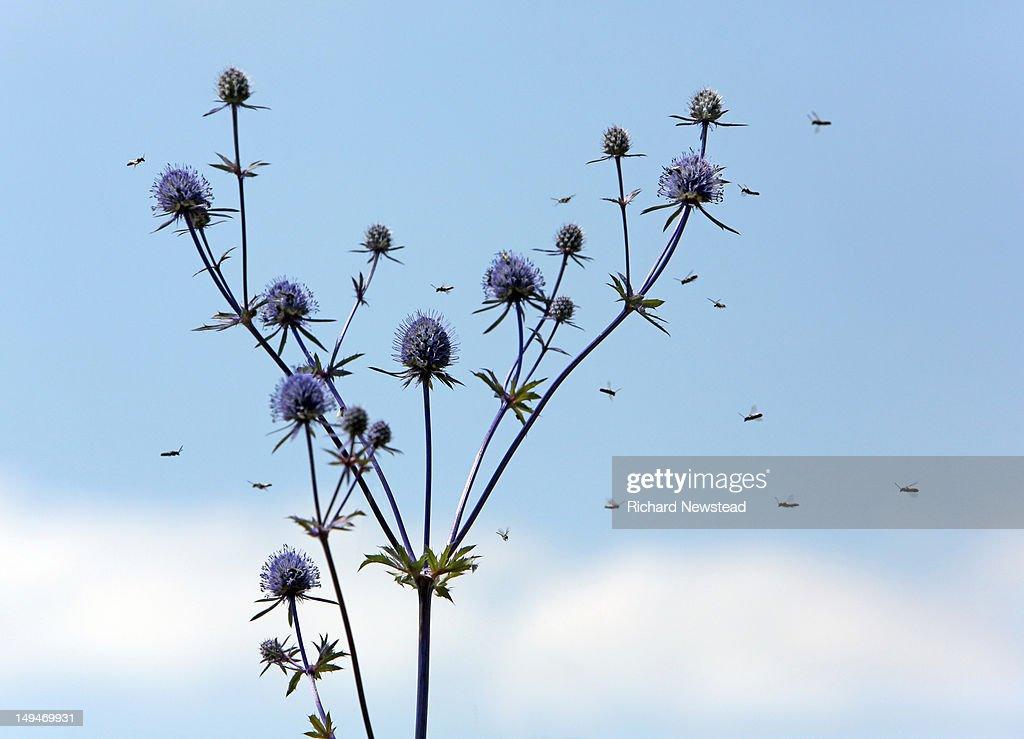 Hoverflies : Stock Photo