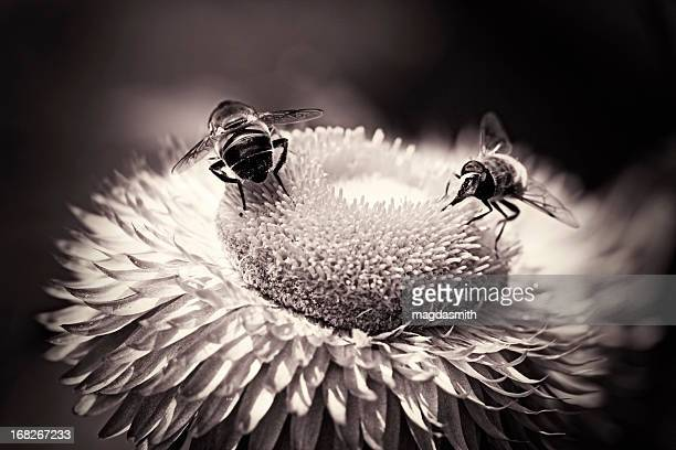 hoverflies sitting on flower - magdasmith stock pictures, royalty-free photos & images