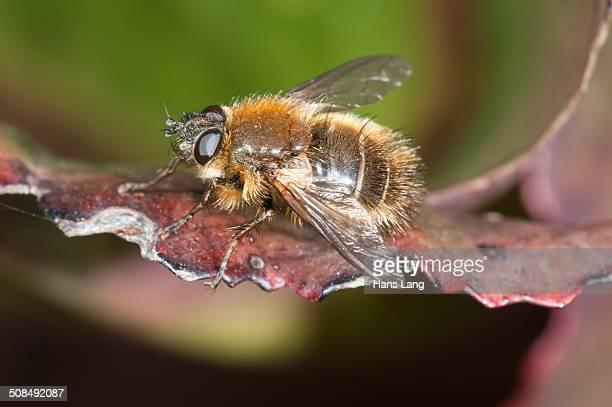Hoverfly -Brachypalpus valgus-, Untergroeningen, Baden-Wuerttemberg, Germany, Europe