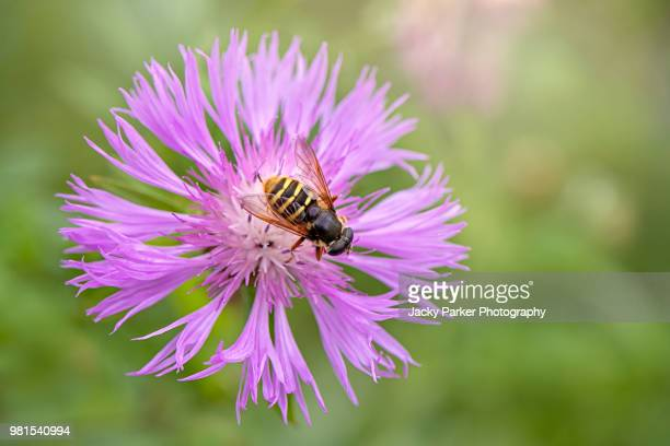 A HoverFly collecting pollen from a summer flowering purple Centaurea commonly known as Knapweed