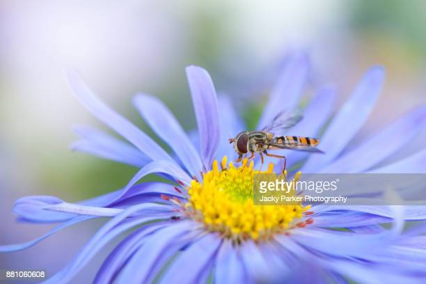 Hoverfly collecting pollen from the yellow stamens of a late summer flowering purple Aster flower