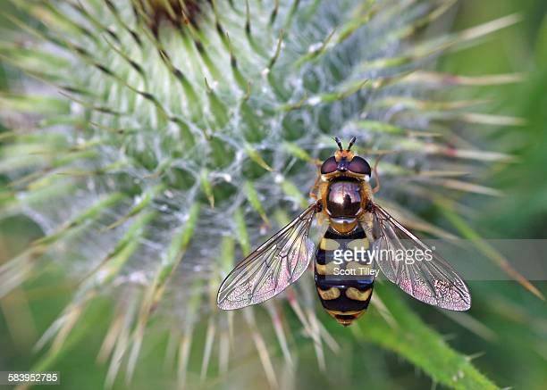 Hoverfly Eupeodes corollae