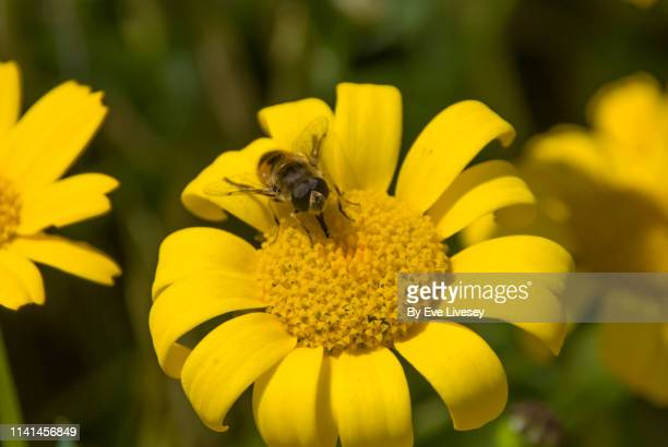 Hoverfly Feeding on a Yellow Daisy