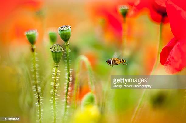 Hoverfly in a Poppy Meadow