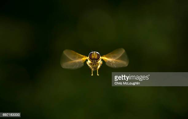 hoverfly in flight - insecte photos et images de collection