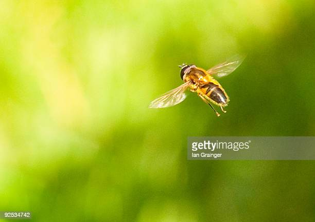hoverfly  in flight - ian grainger stock pictures, royalty-free photos & images