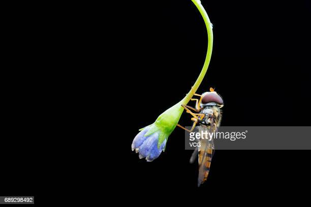 Hoverfly on a flower on May 8 2016 in Jinhua Zhejiang Province of China