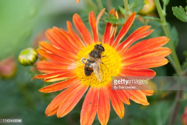Hoverfly on a Orange Flower