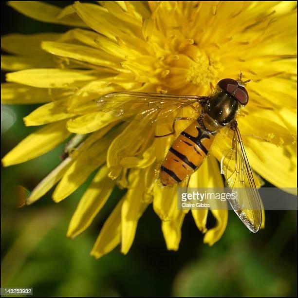 hoverfly on dandelion - chesterfield square stock-fotos und bilder