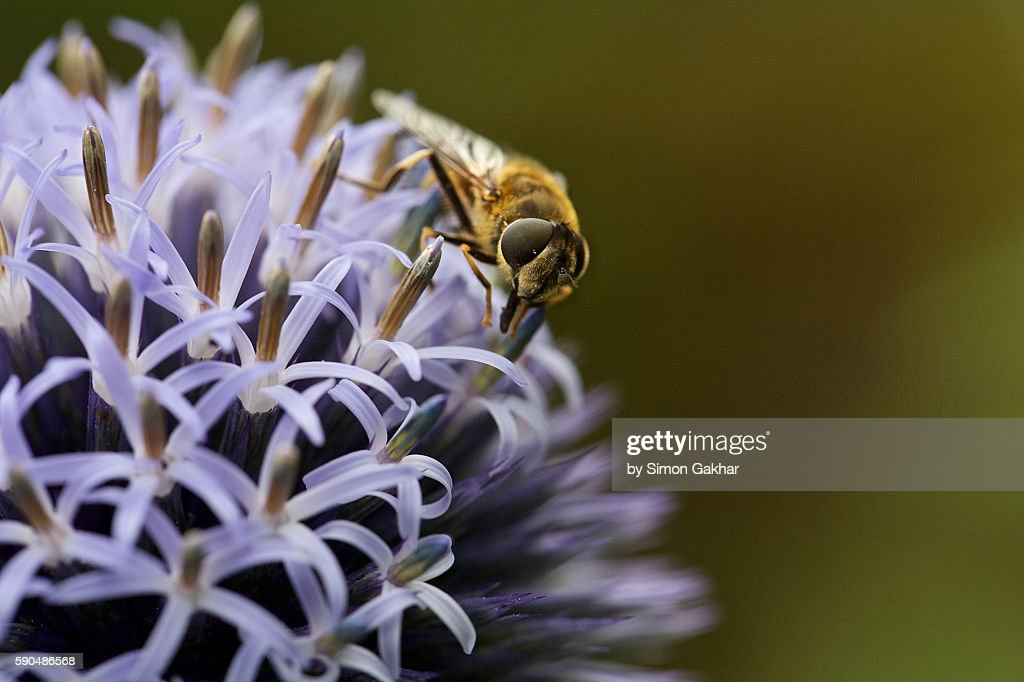Hoverfly on Echinops Flower Head : Stock Photo