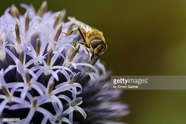 Hoverfly on Echinops Flower Head
